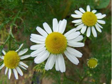 Отличие цветов ромашки белой от ромашки аптечной
