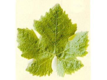 виноградные листья картинки